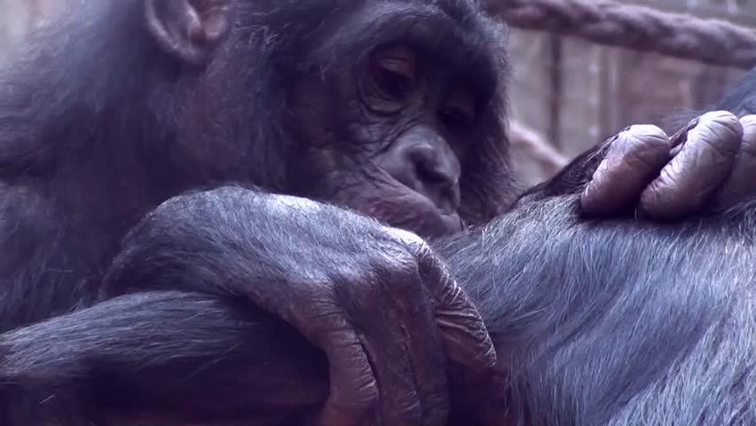 Bonobo (Pan paniscus) - HD stock footage clip