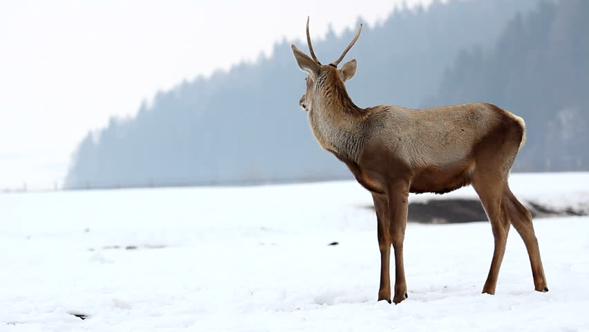 Solitaire young stag in a winter scenery