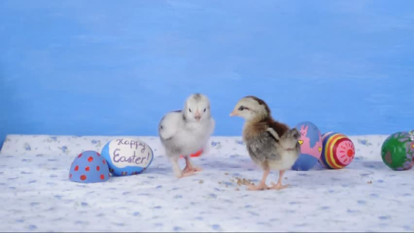 Two tiny chicks with Easter eggs - HD stock footage clip