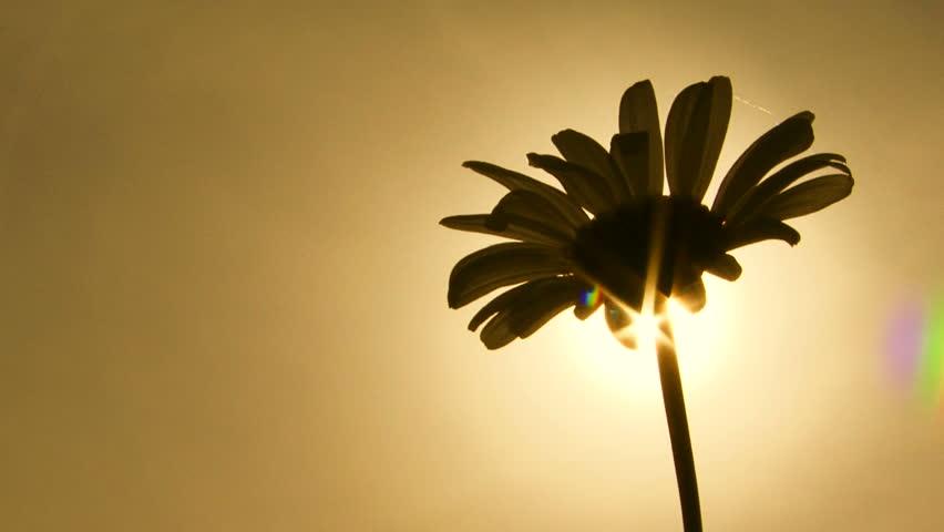 Close-up on a daisy. Sepia toned image. Close-up. Daisy.