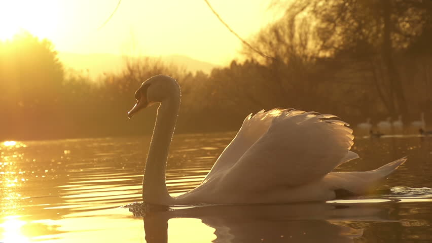 SLOW MOTION: swan swimming - HD stock footage clip