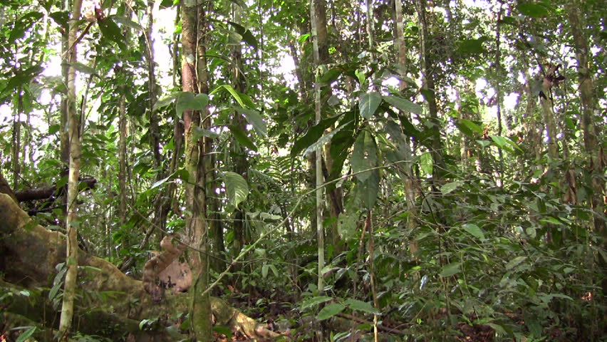 Rainforest tree with buttress roots in the Ecuadorian Amazon - HD stock footage clip