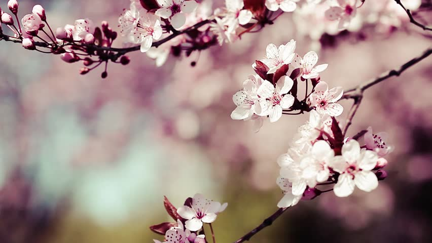 Pink cherry flowers blooming in springtime swining in the wind.