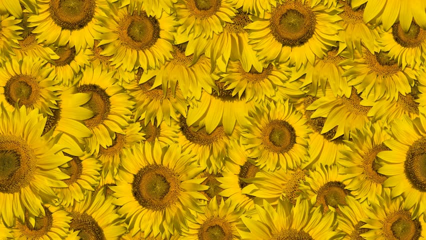 Move Sunflower background, seamless loop - HD stock footage clip