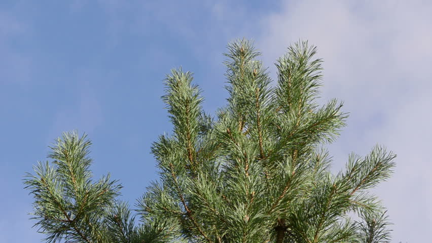 pine tree branch move in wind closeup on background of cloud fly in sky. - HD stock video clip