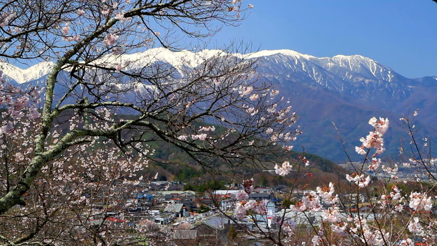 Cherry blossom with blue sky and mountains in background.
