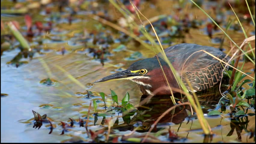 A Green Heron catches a small fish in the Everglades National Park - HD stock footage clip