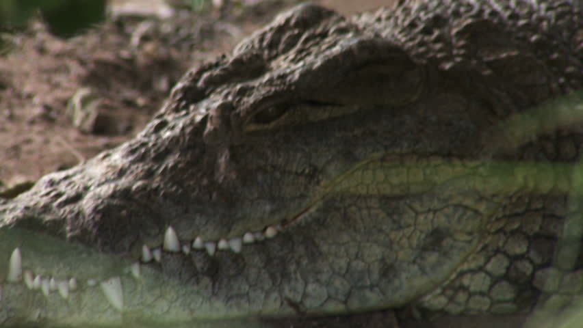 Crocodile head - HD stock video clip