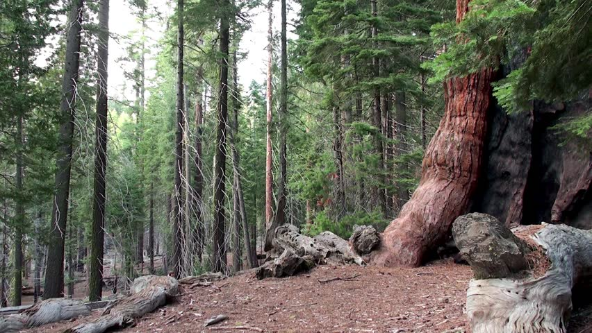 "A Tourist at """"Grizzly Giant"""" Giant sequoia tree in Mariposa Grove, Yosemite NP, California. - HD stock footage clip"
