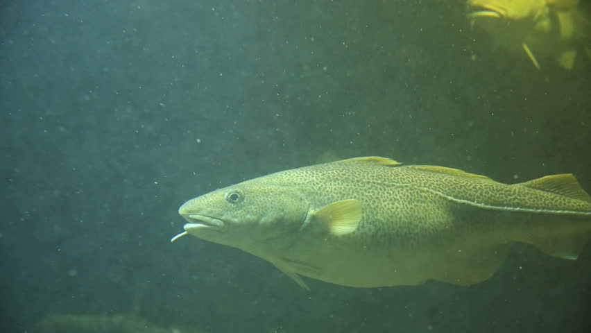 Arctic Cod fish swim in shallow water