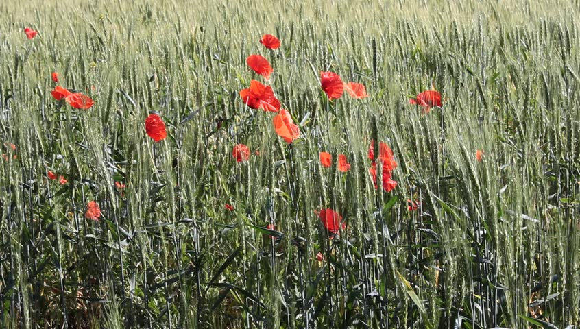 Wheat field with poppies flowers - HD stock video clip
