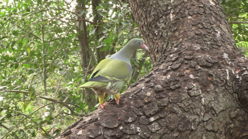 Header of African green pigeon