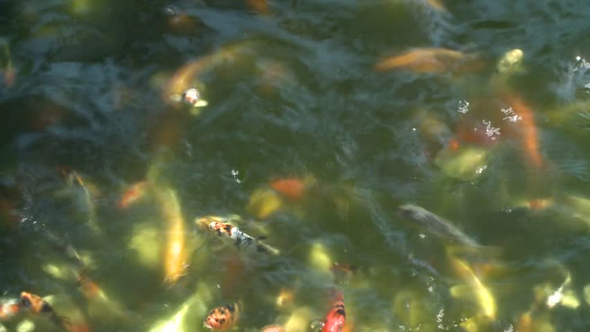 Colorful baby asian koi fish in crowded breeding pond for Breeding pond fish