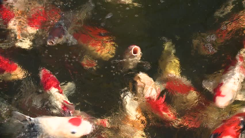Colorful asian koi fish in crowded breeding pond feeding for Breeding pond fish