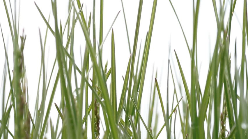 green grass. White background - HD stock footage clip