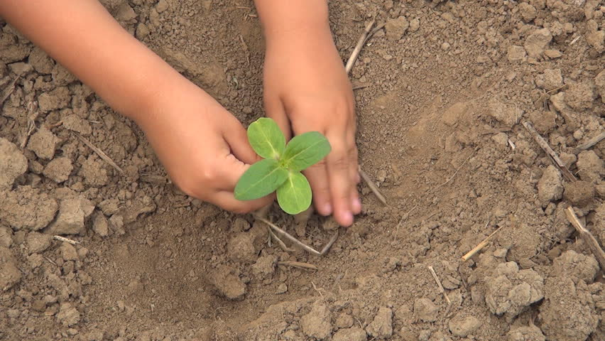 Child Hands Planting a Seed in Ground, Seedling Vegetables in Field, Agriculture - HD stock video clip