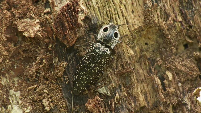 Header of Alaus oculatus