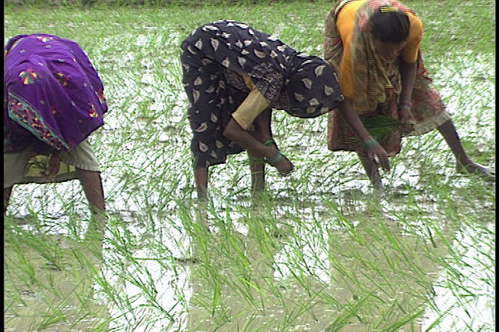 Sultanpur India  city photos gallery : SULTANPUR, INDIA JULY 28, 1999: Women Plant Rice In Flooded Rice ...