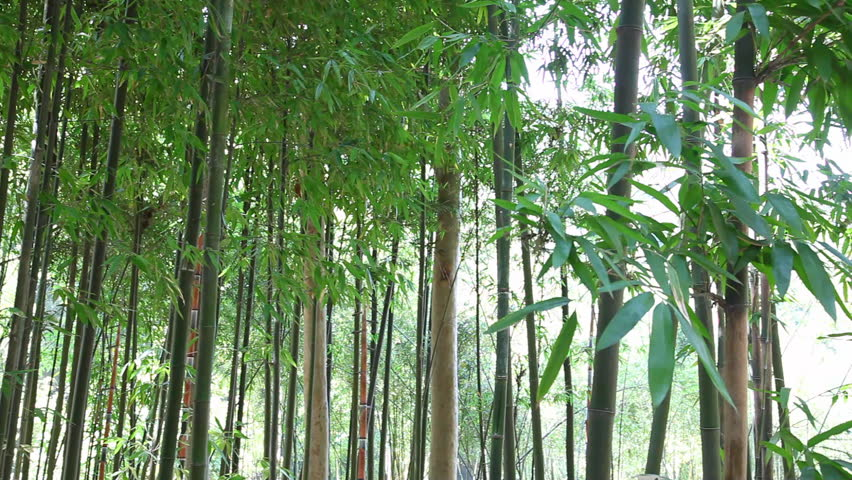 Bamboo Forest - HD stock footage clip