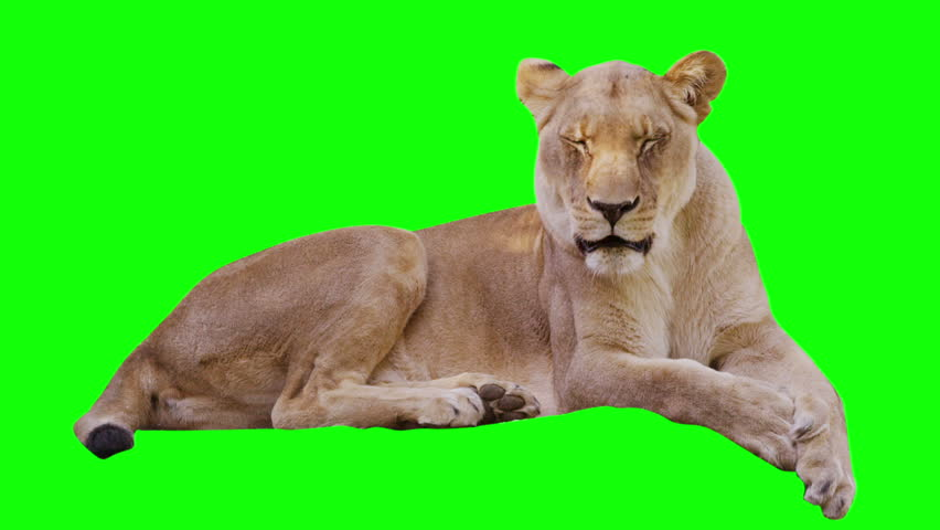 Lioness yawning  on greenscreen. Shot with Red camera.  | Shutterstock HD Video #4146013