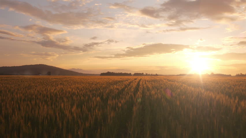 AERIAL: Flight over the wheat field in sunset | Shutterstock HD Video #4190914