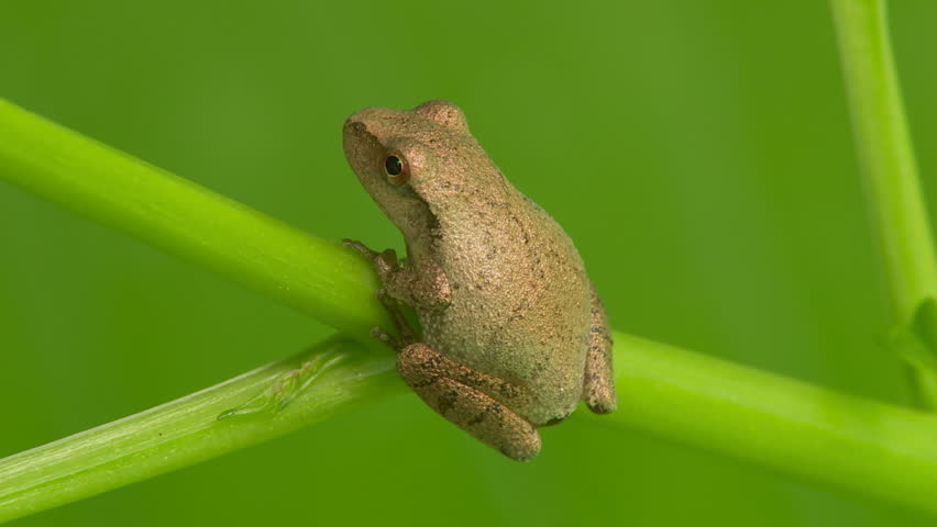 A Spring Peeper (Pseudacris crucifer) perches on low vegetation on a summer morning. - HD stock footage clip