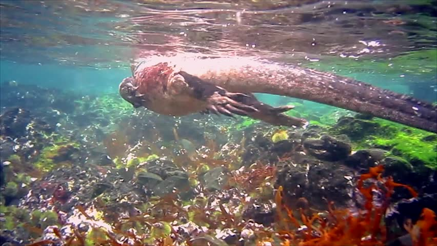 A male Marine Iguana (Amblyrhynchus cristatus) Swimming in the Galapagos Islands (Isabela Island). Underwater film of marine iguana swimming along shore of volcanic island in the Pacific Ocean. - HD stock footage clip