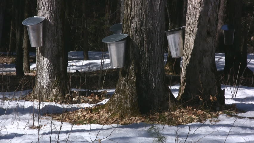 Wooded Rural Area With Maple Trees Tapped To Harvest Sap For Maple Syrup - HD stock footage clip