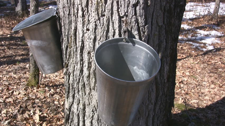 Wooded Rural Area With Maple Trees Tapped To Harvest Sap For Maple Syrup - HD stock video clip