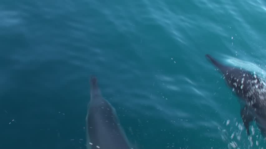 Spinner dolphins bow riding in very clear water