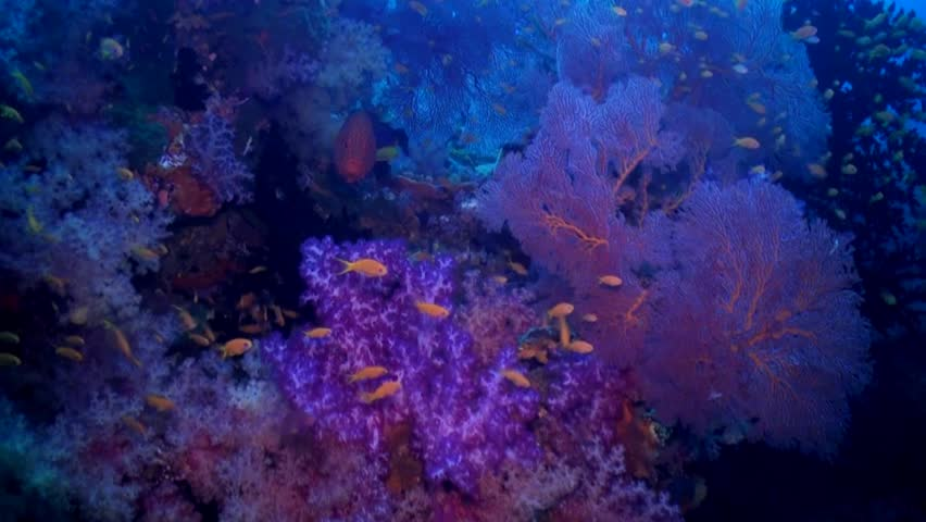 Coral grouper in colourful soft coral and with reef fish - HD stock footage clip