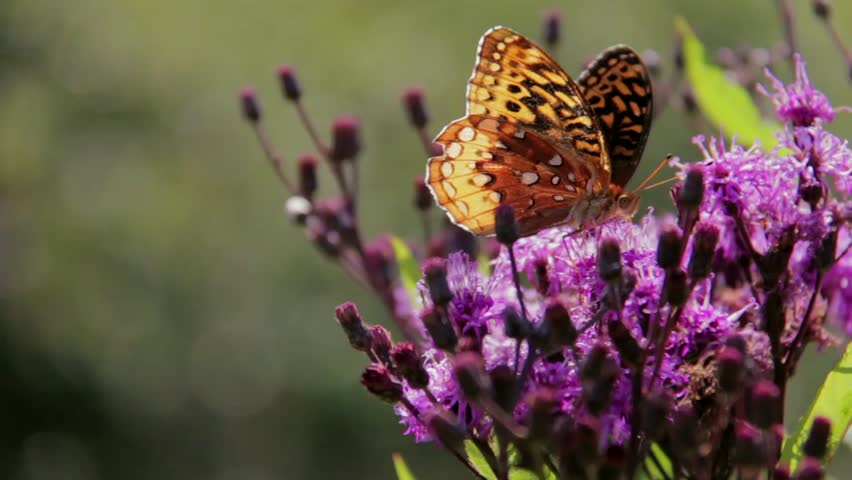 Monarch Butterfly Danaus Plexippus - HD stock video clip