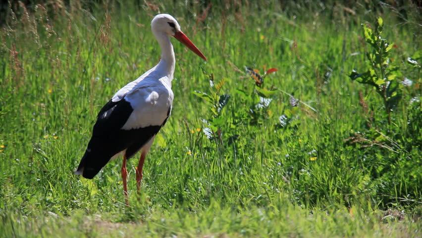 stork - HD stock video clip