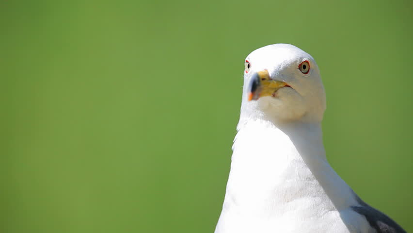 Curious Seagull - HD stock footage clip