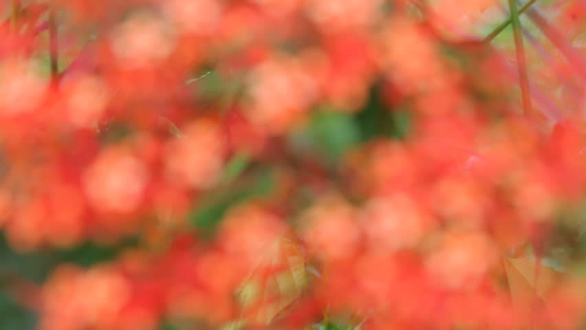 tropical red flowers from blurred to focus - HD stock video clip