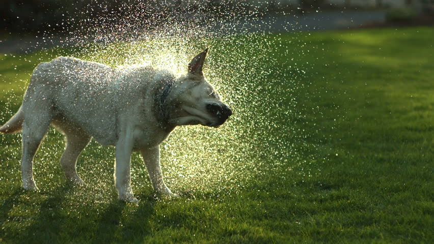 Dog shaking off water, slow motion
