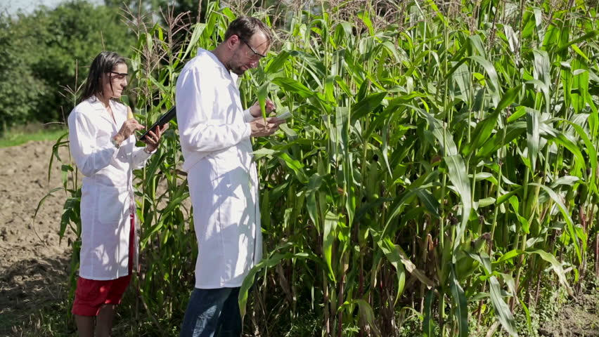 Male and female scientists examine corn plants
