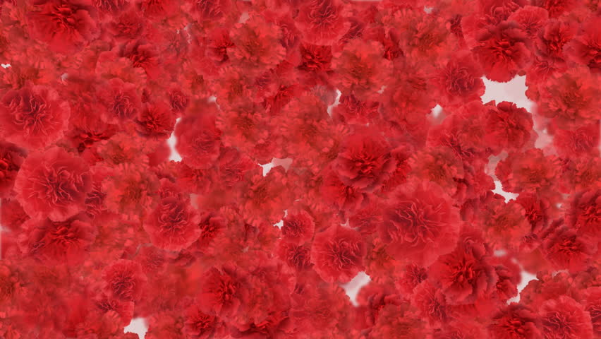 Carnation flower backgrounds