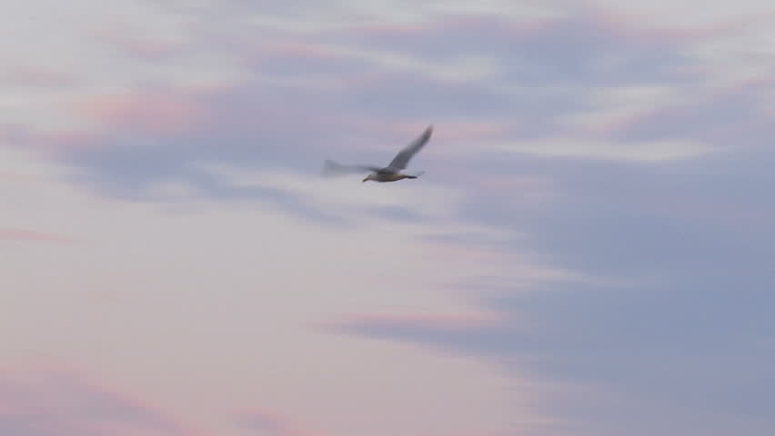 Seagull flying in the evening sky during sunset - HD stock footage clip
