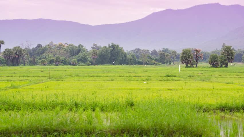 time lapse farmer scatter fertilizer in rice farm