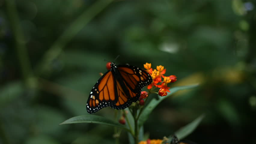 Large Cluster Monarchs Resting On Pines Stock Footage