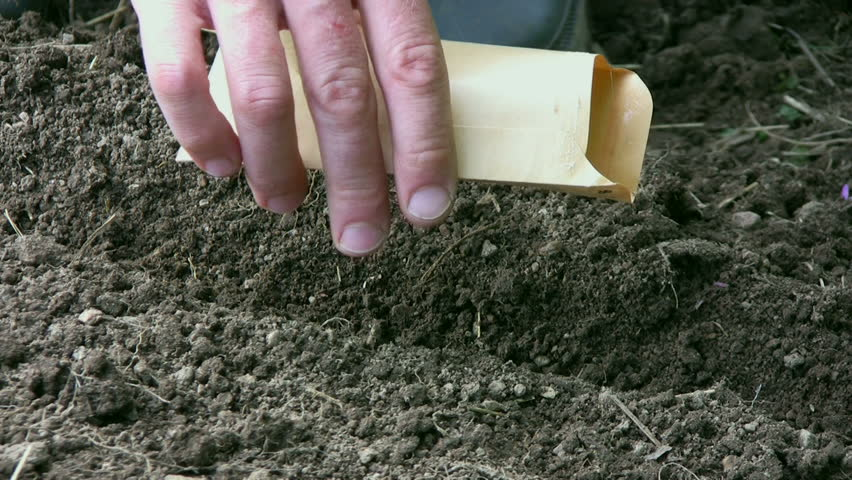 Sowing carrots - HD stock video clip