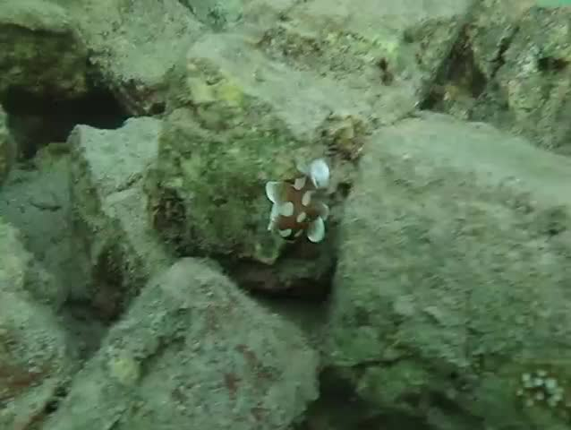 Juvenile Sweetlips (Plectorhinchus chaetodonoides) dancing like a spanish dancer - SD stock footage clip