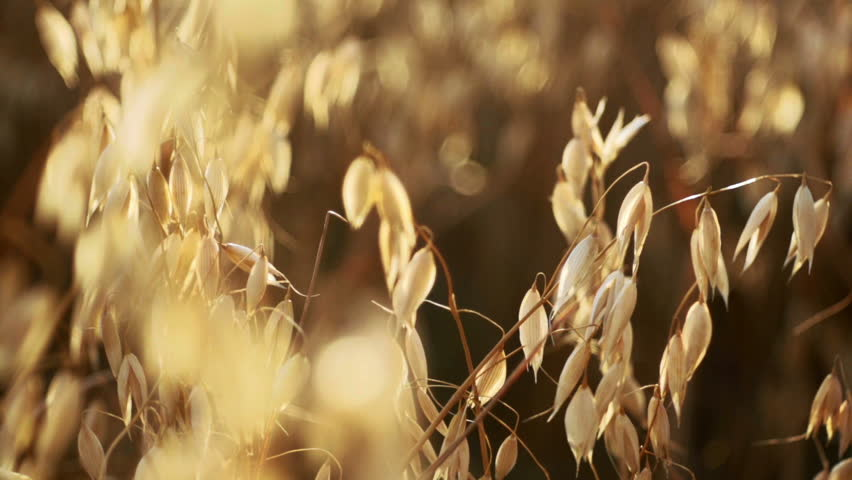 Golden oat ready to be harvested - HD stock footage clip