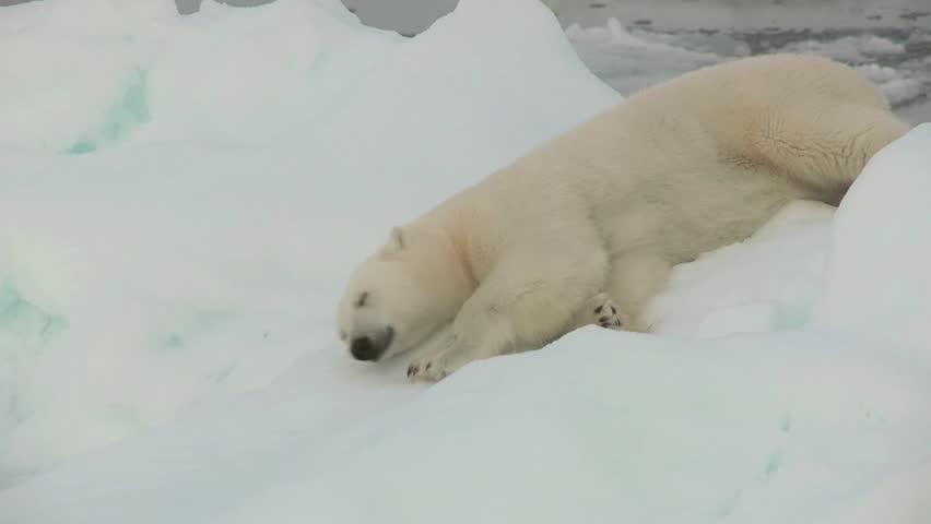 Polar Bear rolling around