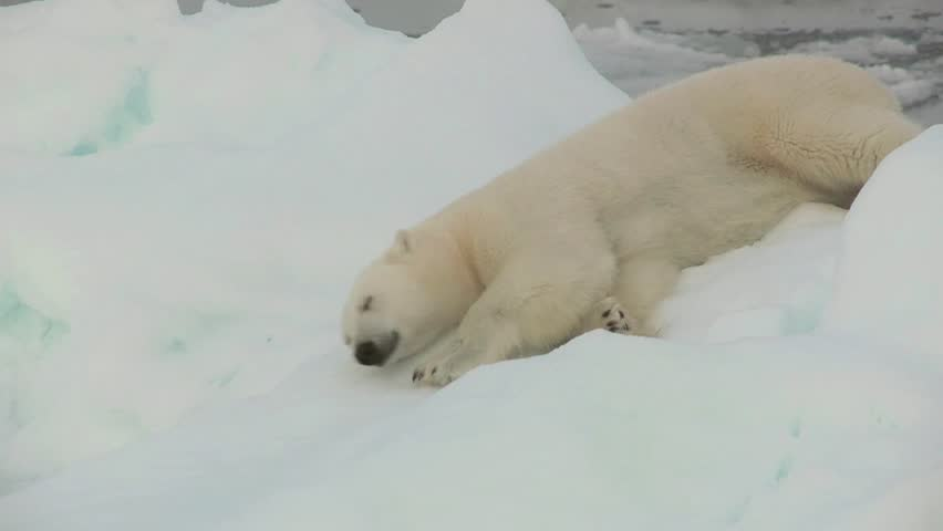Polar Bear rolling around