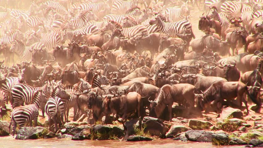 Herds of wildebeest and zebra cross a river during a migration in Africa. - HD stock footage clip