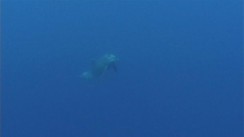 Bottlenose dolphin - SD stock footage clip