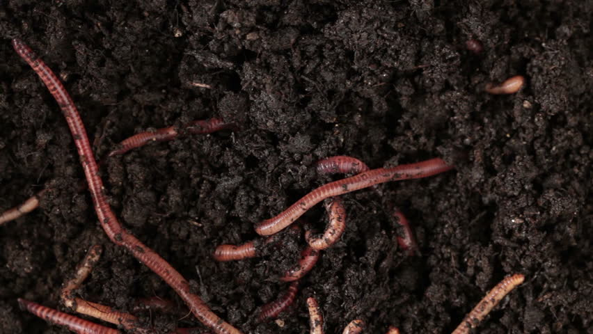 Earthworms moving in the soil - HD stock video clip