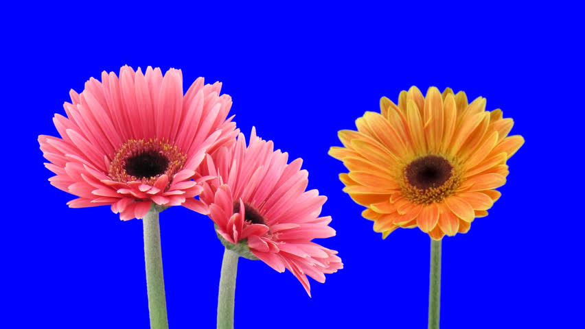 Time-lapse of growing and opening orange and pink gerbera flowers 1a1 in PNG+ format with ALPHA transparency channel isolated on blue chroma keyed background